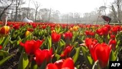 Выращиваемые в Нидерландах цветы. Иллюстративное фото.