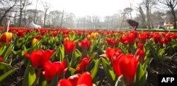"""Следующей жертвой российских """"антисанкций"""" могут стать цветы из Нидерландов"""