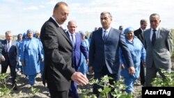 Prezident İlham Əliyev Salyan rayonunda pambıq sahəsində, arxiv foto