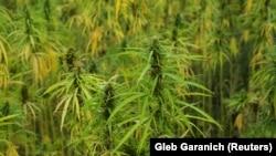Stabljika marihuane, ilustrativna fotografija