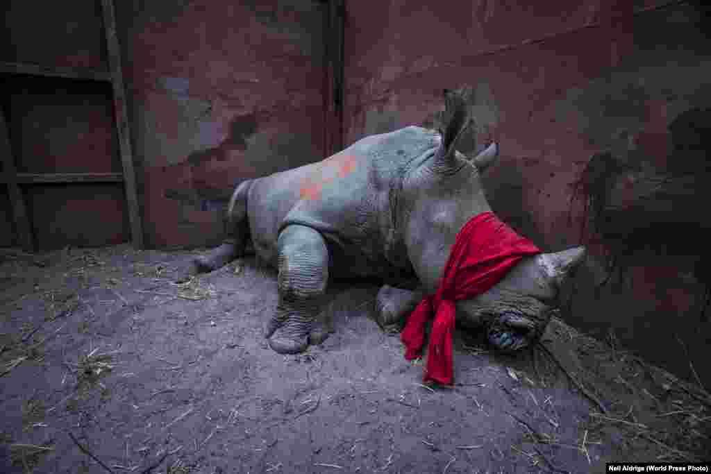 """Номинация: """"Окружающая среда"""". Главный приз Южноафриканский фотограф Неил Адридже запечатлел молодого белого носорога, которого перевезли из ЮАР в Ботсвану вдельту рекиОкаванго, чтобы спасти от браконьеров (на время перевозки ему завязали глаза). Рог носорога высоко ценится, особенно во Вьетнаме и Китае – на черном рынке стоимость килограмма рога может достигать 50 тысяч евро."""