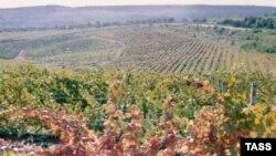 Холода серьезно повредили виноградники, вымерзло до 70% урожая