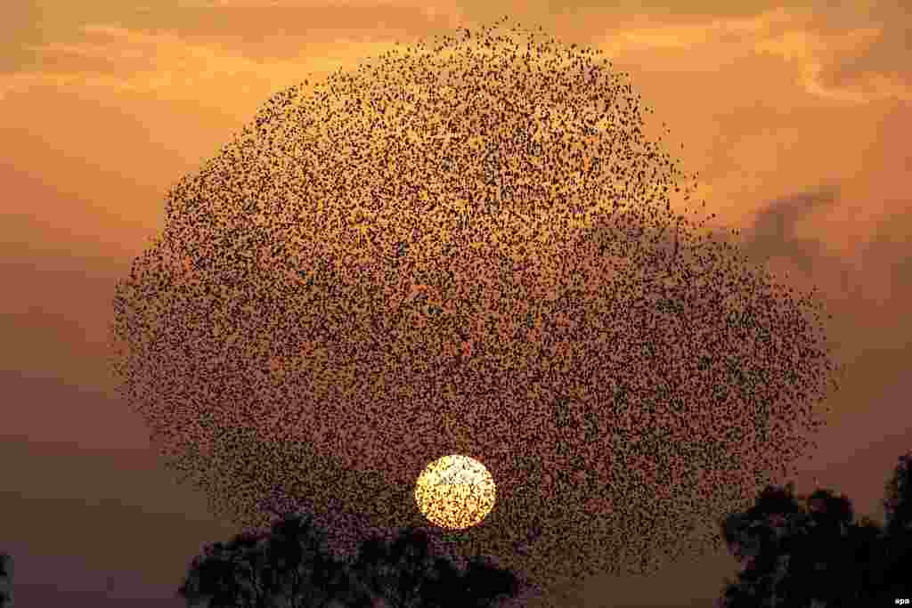 A flock of starlings fly in formation at sunset near the village Tidhar in southern Israel. (epa/Abir Sultan)