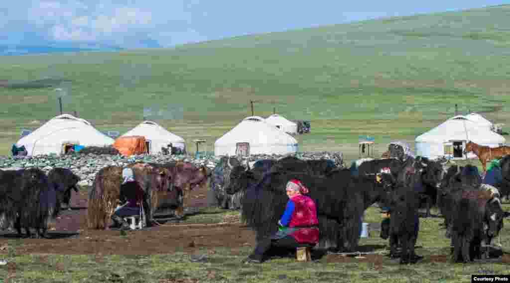Қодас сауып отырған әйелдер.Баян-Өлгий аймағы, Моңғолия, 2014 жыл.