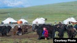 Казахские женщины доят самок яка. Фото Баяра Балганцэрэна.