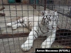 Амурский тигр в сафари-парке