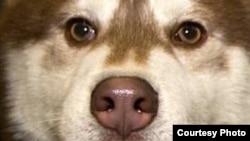 Уникальный научный «инструмент» для исследования запахов – нос собаки