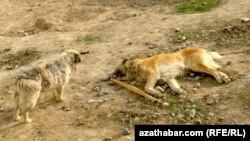 Азатлык сообщал о массовом уничтожении собак и кошек в Ашхабаде путём их отравления или забивания.
