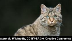 Лясны кот, ілюстрацыйнае фота