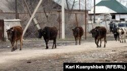 Коровы идут с пастбища. Село Умбетали, Алматинская область.