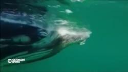 Спасатели освободили кита из сети для акул