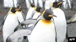 Пінгвіни, Антарктика