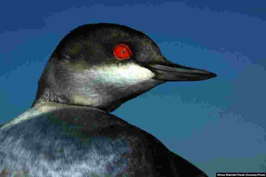 کشیم گردن سیاه، نام علمی: Black Necked Grebe،طول اين پرنده ۳۰ سانتيمتر است، رنگ روی بدن با پر ريزی در فصل توليد مثل و در زمستان متفاوت است. زيستگاه: بيشتر در تالابها و برکههای باتلاقی با پوشش گياهی نی به سر میبرند و گاهی هم در کنار ساحل و در درياچهها ديده میشوند
