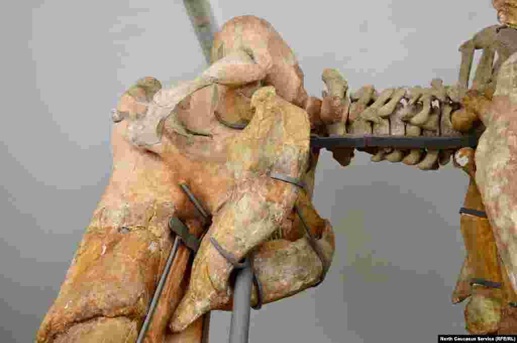 Найденные кости скреплены специальными скобами.