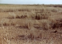 Withering reeds in an unrevitalized portion of the marsh (courtesy photo)