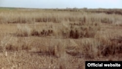 Withering reeds in the former Iraqi marsh area