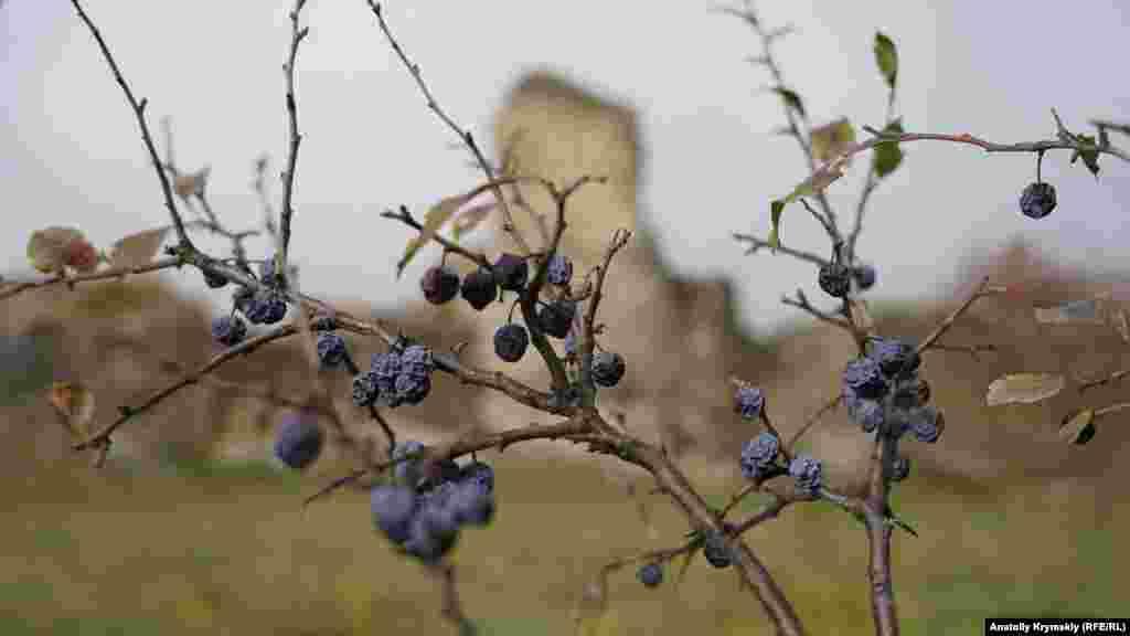 Під стінами фортеці всихають ягоди терну
