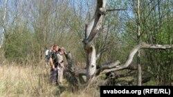Павалены дуб, якія памятае паўстанцаў