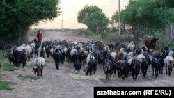 Türkmenistanyň obalarynyň birinde goýun-geçi sürüsi