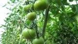 Баткен помидордун мекенине айланат