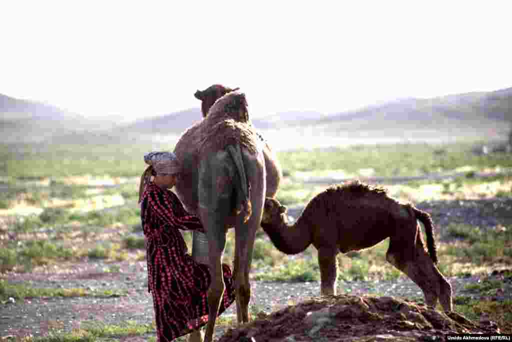Zamira milks the camel from one side, while a calf suckles from the other side.