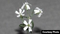 Ресей ғалымдары өсіріп шығарған Silene stenophylla гүлі. 21 ақпан 2012 жыл.