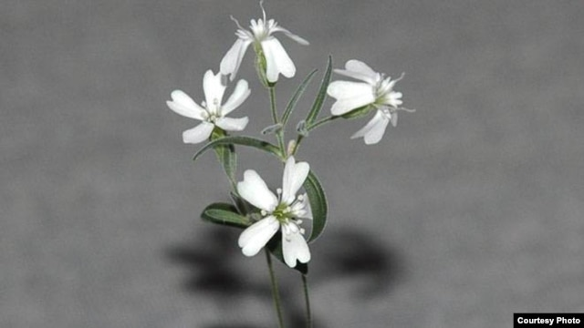 A silene stenophylla grown from tissue of fossil fruit found in a squirrel burrow that had been stuck in Siberian permafrost for over 30,000 years.