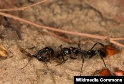 """Megaponera analis кумурскасы жарадар """"жоокерди"""" текшерип жатат"""