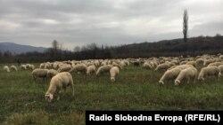 Стадо овци.