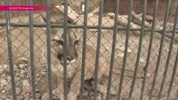 Скандал в зоопарке: от чего умерли шесть редких барсов