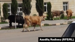 Azerbaijan - cows - 16May2013