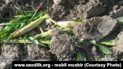 Уничтоженные по приказу прокурора Шерали Аширова посадки кукурузы.