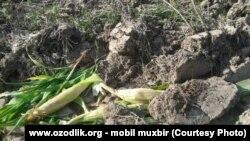 Земельный участок одного из шахрисабзских фермеров, на котором были полностью уничтожены посадки кукурузы.