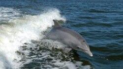 Гибель дельфинов в Черном море: кто виноват?