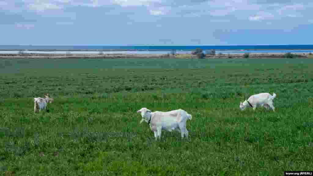 Домашним козам есть сочная пожива в виде самопроизвольно проросшей в результате потерь при уборке урожая пшеницы