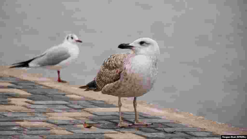 Чайки в Севастополе