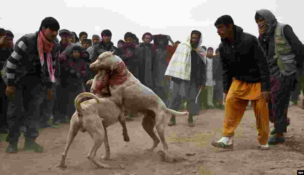Afghan dogs attack each other during a weekly canine fight in Kabul. (epa/Hedayatullah Amid)