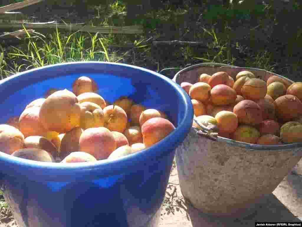 Сары өрік (абрикос) - ыстықты және күн сәулесін сүйеді. Көктем ерте келгенде тез өніп, бірақ содан кейін күн суығанда үсіп кететін сезімтал өсімдік.