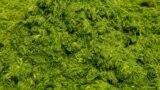 دستگاه جدید جلبکی ۴۰۰ برابر سریعتر از یک درخت دیاکسید کربن جذب میکند