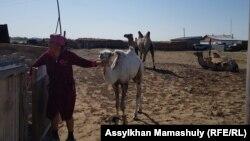 Жительница села Боген ведет верблюжонка. Кызылординская область, 22 июня 2018 года.