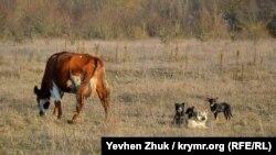 Возле села на пастбище – стадо коров под охраной собак