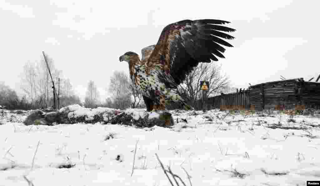 A white-tailed eagle lands on a wolf carcass in the abandoned village of Dronki, Belarus, located within the 30-kilometer exclusion zone around the Chernobyl nuclear reactor.