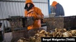 На устричной ферме ООО «Крымские морепродукты» в поселке Новоозерное на берегу залива Донузлав, февраль 2019 года