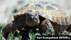 Сухопутная черепаха близ села Аксенгир в Алматинской области.