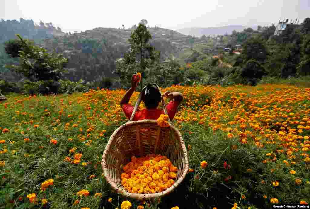 Жанчына зьбірае кветкі календулы ў Катманду, Нэпал (Reuters/Navesh Chitrakar)