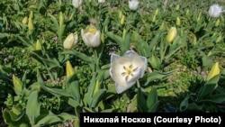 Парад тюльпанів 2020 незабаром почнеться в Нікітському ботанічному саду