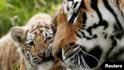 The bones and skins of four Siberian tigers were found in the minibuses.