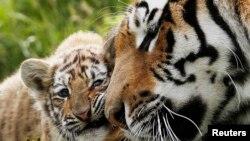 Амурские тигры. Иллюстративное фото.