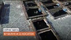 """Белухи и косатки заперты в """"китовой тюрьме"""" в Приморье"""