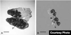"""Slike sjemena """"Silene"""" starog 32.000 godina, cvjetnice koju su regenerisali ruski naučnici."""